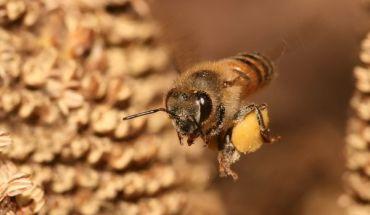 Mierea-de-albine-Medicamentul-natural-din-stup
