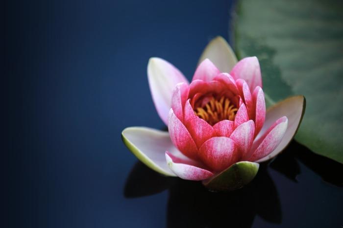 water-lilies-1825477_1280.jpg