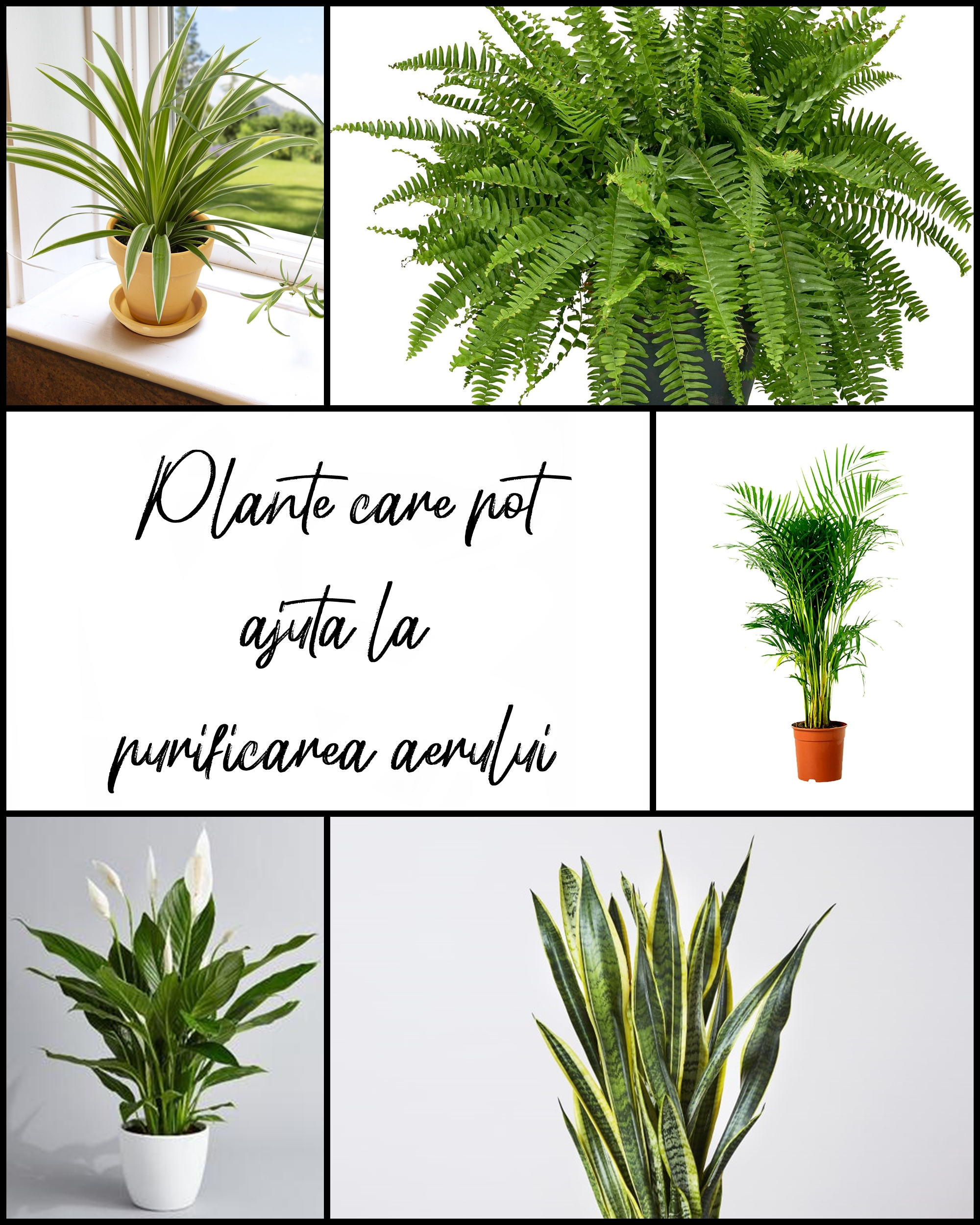 plante care purifica aerul